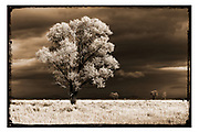 Wall Art of Trees in Sepia for Sale- Artistic, vintage looking photo of a tree in Wyoming. Photo by Colin E. Braley