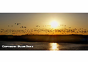 Sunset, Snow Geese, Delaware Bay, New Jersey