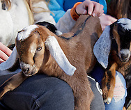 Cornwall, New York  - Baby dairy goats sit on girls' laps at Edgwick Farm on Feb. 4, 2012. The farm uses goat milk to make artisan cheeses.