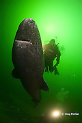 Greenland sleeper shark, Somniosus microcephalus, and diver, St. Lawrence River estuary, Canada, (this shark was wild & unrestrained; it was not hooked and tail-roped as in most or all photos from the Arctic) MR 374