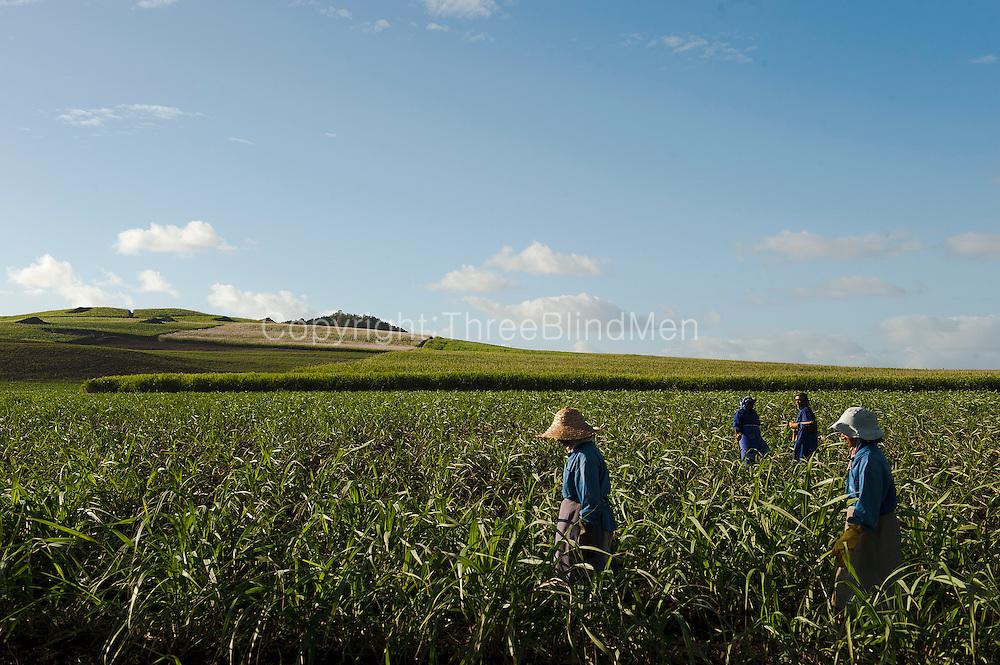 Mauritius. Women working in sugarcane fields.