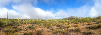 Saguaro cactus in Saguaro National Park west in the morning