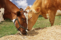 Two brown cows eating hay in field close-up