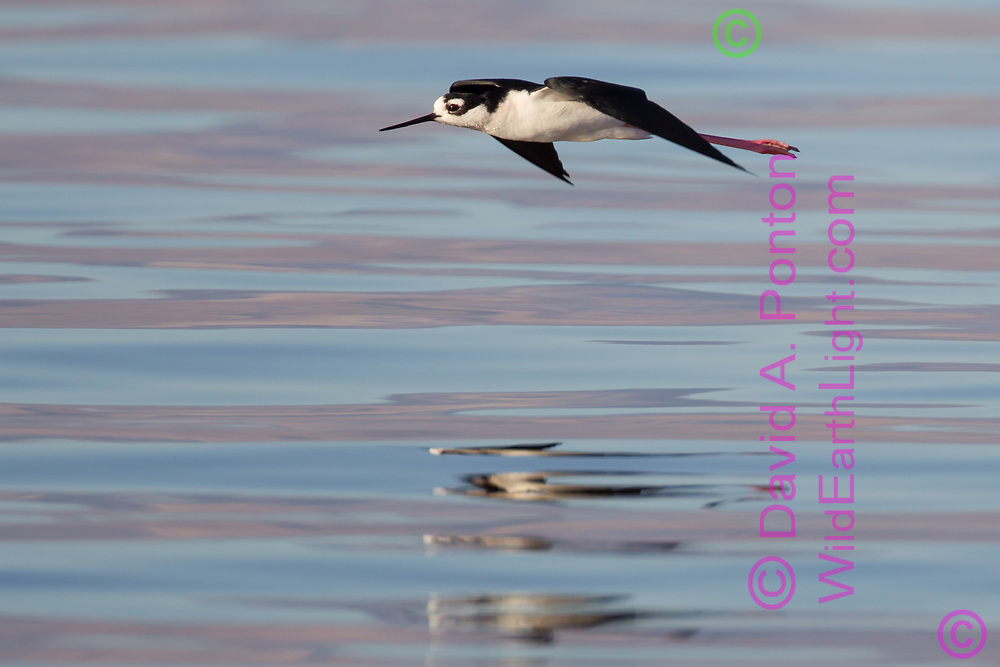 Black-necked stilt in flight, with dawn light reflecting on gentle waves, Salton Sea, CA, © 2011 David A. Ponton