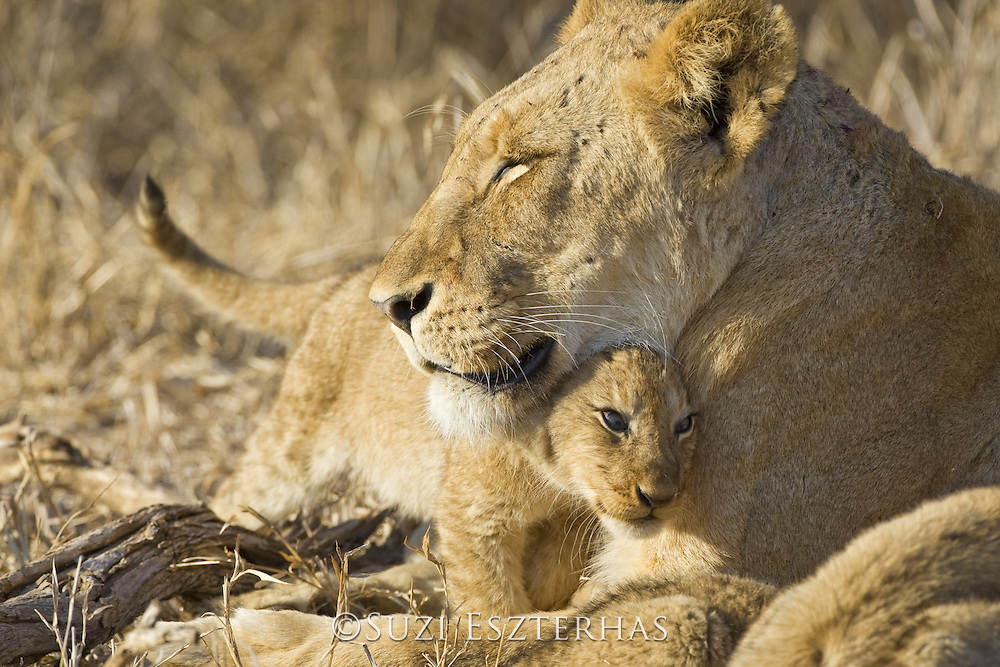Lion <br /> Panthera leo<br /> Mother and 3-4 month old cub<br /> Mala Mala Reserve, South Africa