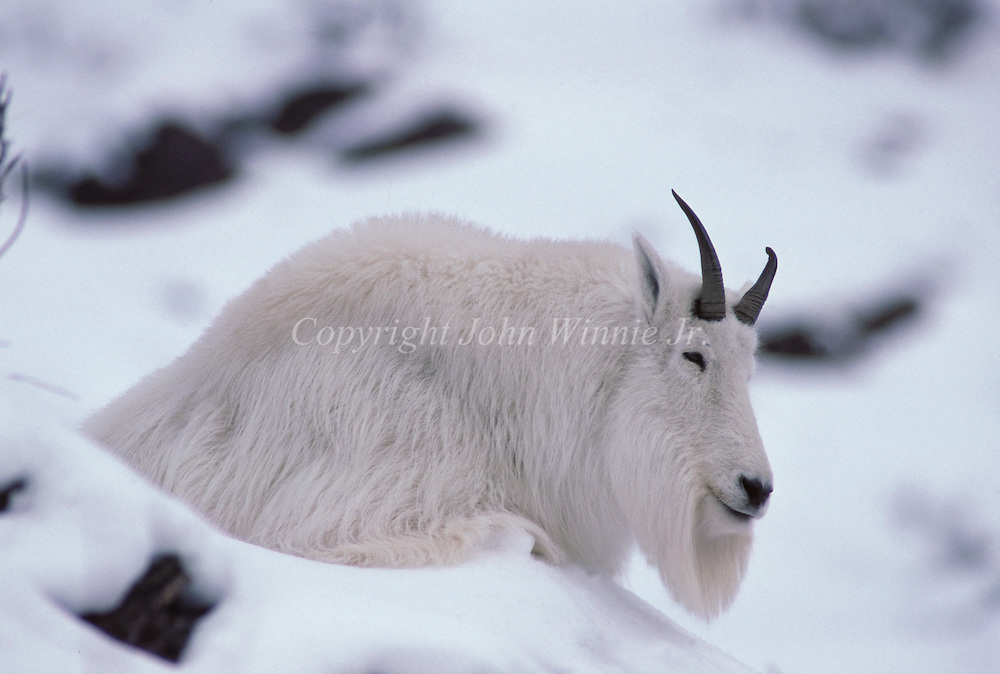 Mountain goat dozing in deep snow. Glacier National Park, Montana.