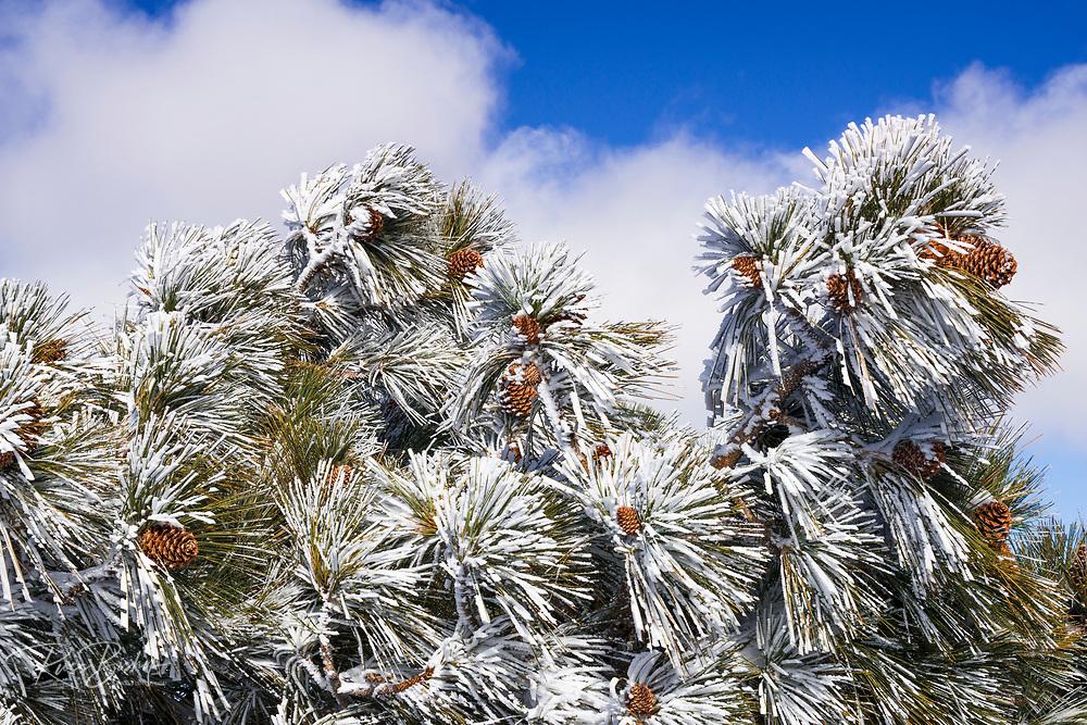 Rime ice on pine tree, San Bernardino National Forest, California USA