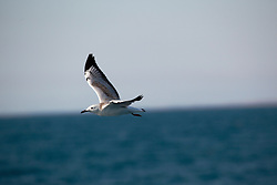 A Silver Gull in flight between Broome and the Lacepede Islands