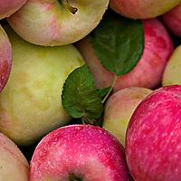 Freshly picked Melba apples.