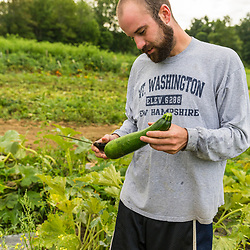 A man harvests zucchini at Barker's Farm in Stratham, New Hampshire.