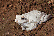 Foam nest frog (Chiromantis xerampelina)<br /> Marataba, A section of the Marakele National Park, Waterberg Biosphere Reserve<br /> Limpopo Province<br /> SOUTH AFRICA<br /> HABITAT & RANGE: Tropical lowveld, wooded savannah of north eastern Southern Africa