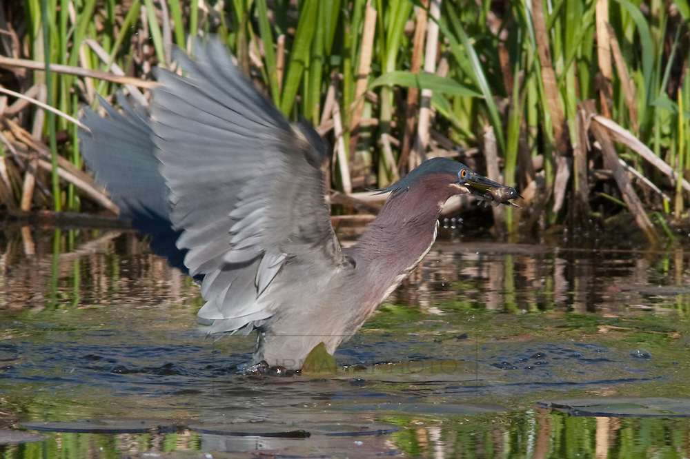 A Green Heron catches a fish using its unique hunting methods