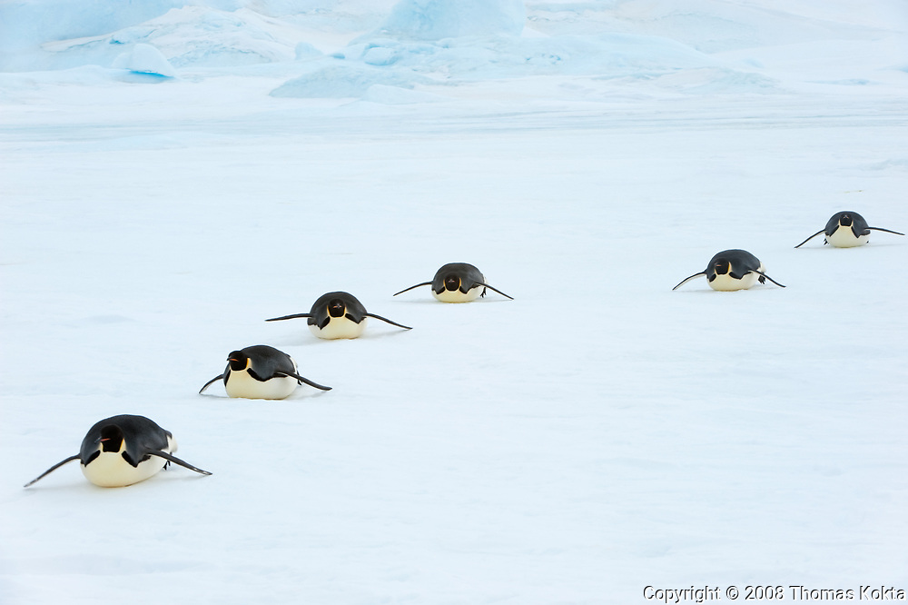 Line of Emperor penguins sliding on their bellies in the snow.