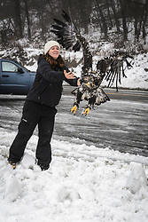 "Rachel Wheat, a graduate student at the University of California Santa Cruz, releases bald eagle (Haliaeetus leucocephalus) ""4P"" back into the wild. Wheat is conducting a bald eagle migration study of eagles that visit the Chilkat River for her doctoral dissertation. She hopes to learn how closely eagles track salmon availability across time and space. The bald eagles are being tracked using solar-powered GPS satellite transmitters (also known as a PTT - platform transmitter terminal) that attach to the backs of the eagles using a lightweight harness. The latest location of this eagle can be found here: http://www.ecologyalaska.com/eagle-tracker/4p/ . During late fall, bald eagles congregate along the Chilkat River to feed on salmon. This gathering of bald eagles in the Alaska Chilkat Bald Eagle Preserve is believed to be one of the largest gatherings of bald eagles in the world."