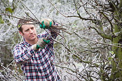 Pruning an apple tree in winter. Malus domestica