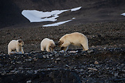 Mother and two polar bear cubs (Ursus maritimus) in Spitsbergen, Svalbard, Norway