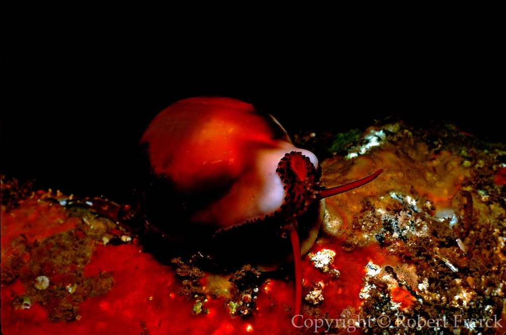 UNDERWATER MARINE LIFE EAST PACIFIC: Northeast SNAILS: California Cowrie Cypraea californica