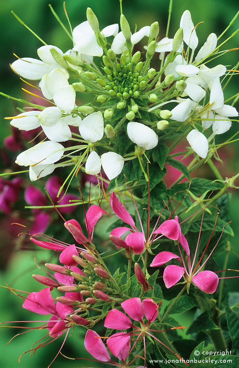 Cleome spinosa syn. Cleome hassleriana. Spider flower