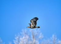 Bald Eagle (Haliaeetus leucocephalus) Immature in flight, Fish Creek Provincial Park, Calgary, Alberta, Canada - Photo: Peter Llewellyn