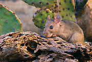 350103-1003 ~ Copyright: George H. H. Huey ~ White-throated woodrat [Neotoma albigula]. [aka packrat]. Sonoran Desert, Arizona.