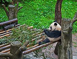 Giant Panda, Chongqing Zoo, China. Name is Xin Xing (New Star), 35 years old.