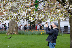 © Licensed to London News Pictures. 16/04/2018. London, UK. A man takes photos of the blossom on a tree in the sunshine as the UK is set to experience warm weather of up to 25 degrees celsius this week. Photo credit : Tom Nicholson/LNP