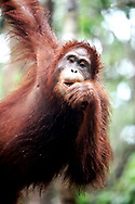 Wild &amp; Ex-Captive Orangutans<br />