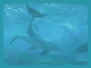 Pastel print of Dolphin playing in blue water