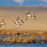 pintail ducks flying with mountain backdrop, rocky mountain front, montana