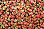 A heap of apples to be used for the production of cider at the farm of Laurent Delaporte.<br /> Emanville, Upper Normandy, France<br /> Tuesday, Oct 2, 2007.