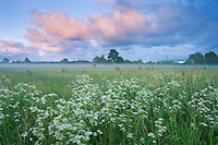 Wildflower meadow at dawn, Nemunas Delta, Lithuania. Mission: Lithuania,  June 2009.