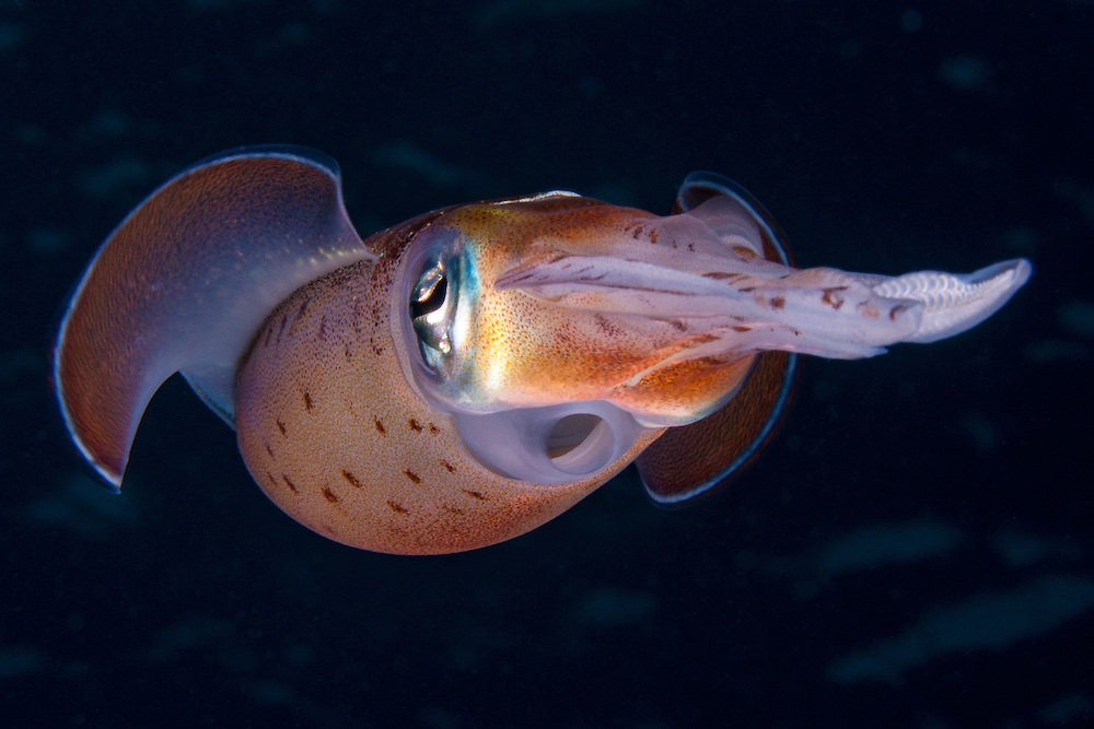 A Caribbean reef squid dances in front of the camera.  <br />