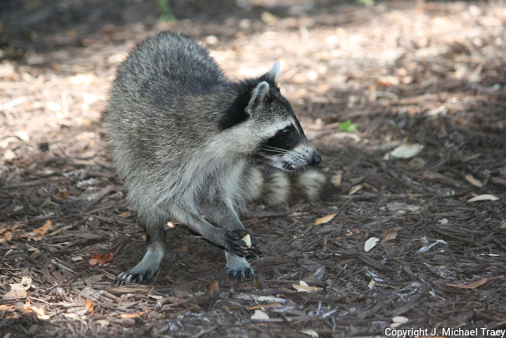 Raccoon picking up food with it's paws.
