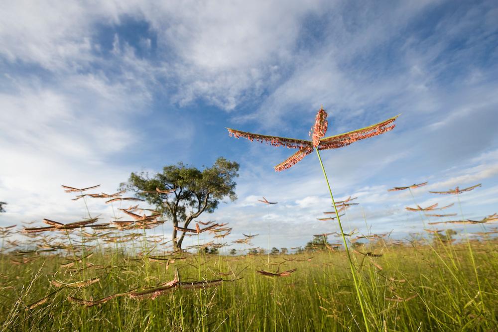Africa, Botswana, Chobe National Park,  Tall grass growing in Savuti Marsh during rainy season
