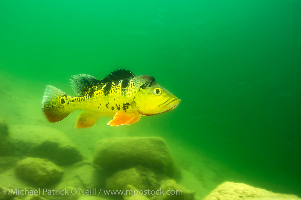 Male Butterfly Peacock Bass or Tucunare Borboleta, Cichla sp., displays to a female in a freshwater lake in South Miami, Florida, United States.