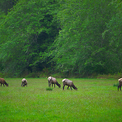 Elk grazing in a meadow in the Olympic National Forest near Lake Quinault, WA.