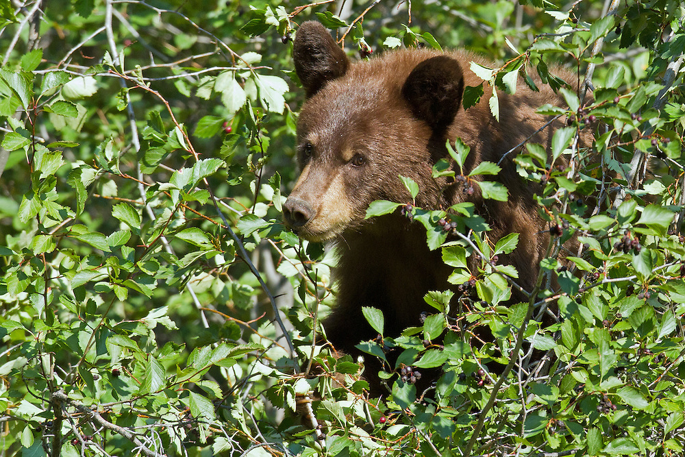 A young cinnamon black bear feasts on hawthorn berries in Grand Teton National Park. During August and September when black bears enter hyperphagia, they can consume up to 30,000 of these berries in one day.