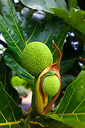 Breadfruit tree; Maui Nui Botanical Gardens; Kahului; Maui; Hawaii; green