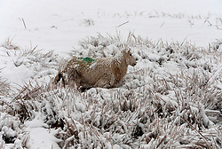 © Licensed to London News Pictures. 04/04/2019. Builth Wells, UK.  Ewe struggles through deep snow in a wintry landscape as bitterly cold Easterly winds and snow hit land above 20 metres altitude on the Mynydd Epynt range near Builth Wells in Powys, UK. Photo credit: Graham M. Lawrence/LNP