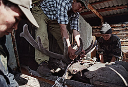The workers of a private farm cut the antlers of a deer who stands into machine for cutting antlers on a deer-farm in the Altai (eastern Siberia) village of Mendur-Sokon, Russia, 23 July 2001. Local population traditionally sell pants (the young, just grown antlers of a deer) to farmacilogical factories, which produce extremely effective biological active medicine Pantacrin with high tonic effect. The antlers are sold by local people for about $150 per kilo, which cost up to $500 on Asian markets..