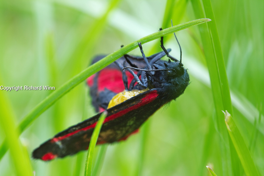 Cinnabar moth imago hanging from a grass frond in the late evening.
