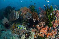Hard and Soft Corals, Reef fishes