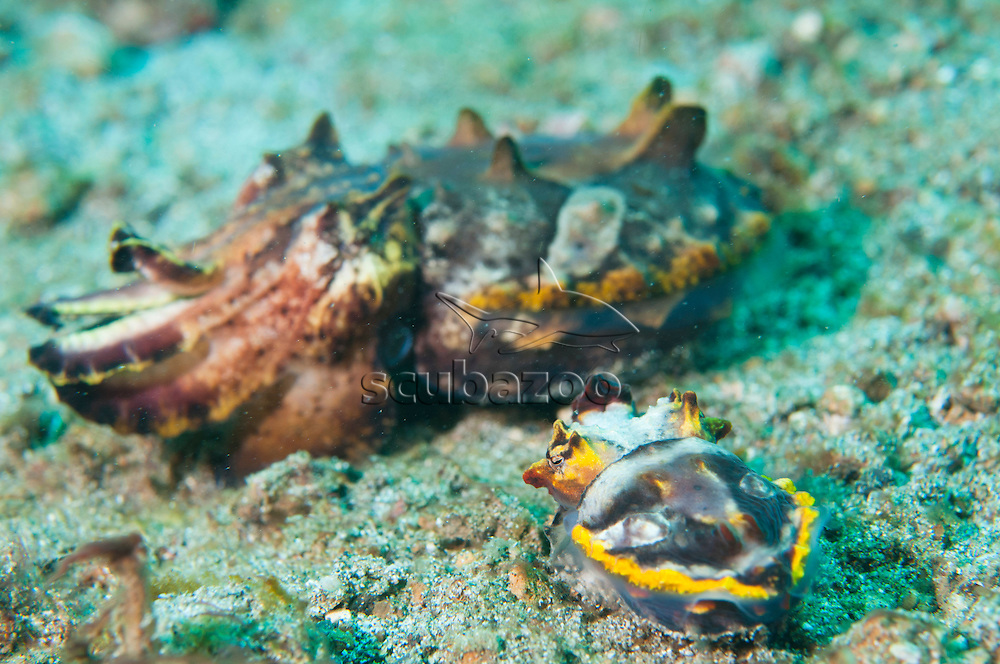A small male Flamboyant Cuttlefish, Metasepia pfefferi, courting a larger female, Lembeh Strait, Sulawesi, Indonesia.
