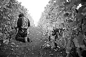Grape Harvest Oregon