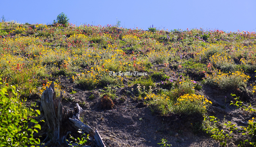 Wildflowers bloom in full along the Loowit Trail at Mount St. Helens. (Mike Siegel / The Seattle Times)