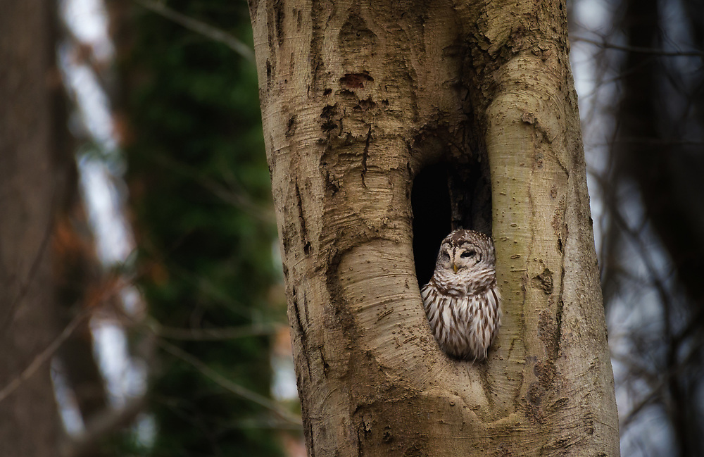 Barred Owl, Oella, Maryland