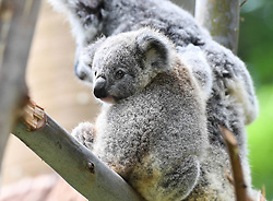 April 29, 2019 - Guangzhou, Guangdong, China - Koalas rest on a tree at the Chimelong Safari Park in Guangzhou, south China's Guangdong Province. A group of six koalas from Australia were introduced in the Guangzhou Chimelong Safari Park in 2006. After 13 years of introducing and breeding, the number of koalas in the park has reached 60 now. (Credit Image: © Xinhua via ZUMA Wire)