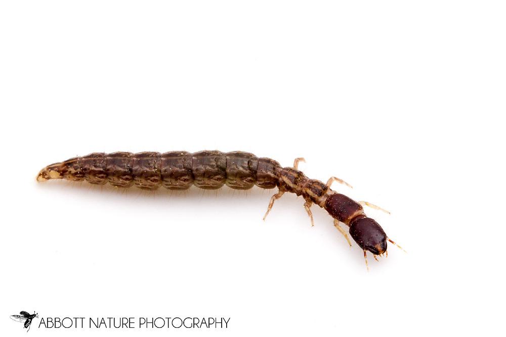 Snakefly (Agulla sp.) - larva<br /> OREGON: Grant Co.<br /> South Fork of John Day River, 3 mi S of Dayville, Oregon on Grant Co. Road 42.<br /> 19.June.2012  44.3687, -119.5493 2815 ft elev<br /> J.C. Abbott #2609 &amp; K.K. Abbott