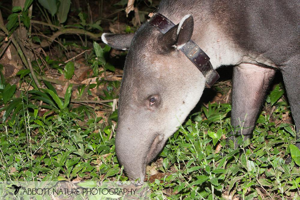 Tapirus bairdii - Thor(Central American Tapir, Baird's Tapir): Mammalia: Perissodactyla: Tapiridae<br /> COSTA RICA<br /> Corcovado National Park<br /> Sirena Biological Station<br /> 3-15.Jan.2008<br /> J.C. Abbott #2353