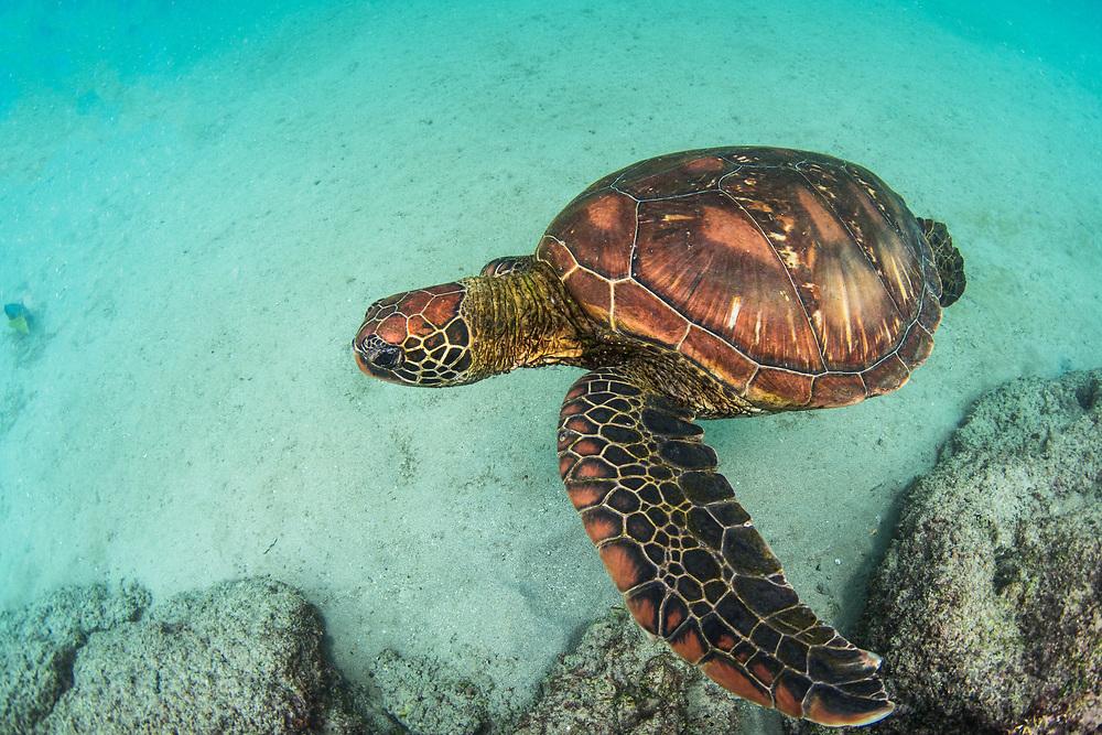 Green Turtle (Chelonia mydas agassisi)<br /> Sullivan Bay, Santiago Island<br /> Galapagos<br /> Ecuador, South America